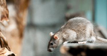 Quel est le meilleur piège à souris au Canada